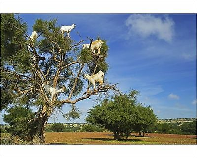 25x20cm Photo-Goats on tree, Morocco, North Africa, Africa-8400325-8105