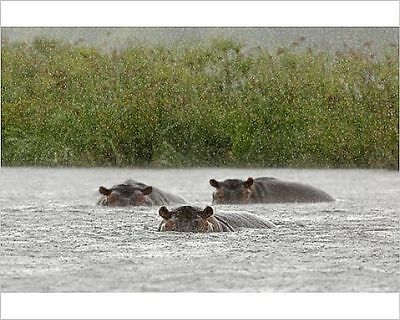 25x20cm Photo-Hippos in storm-13371408-8105