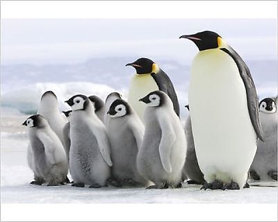25x20cm Photo-Emperor Penguin - adults with chicks-645735-8105