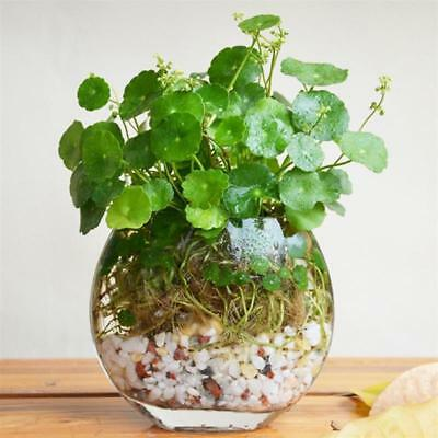 PROMO Pilea Peperomioide Seeds, Waterfall Grass Seeds,budding rate 95% - 200pcs