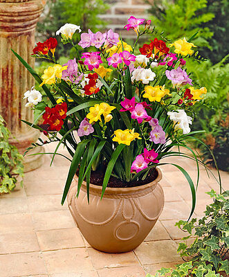100 Freesias Seeds, Gorgeous DIY Garden Colorful & Fragrant Flower Plant