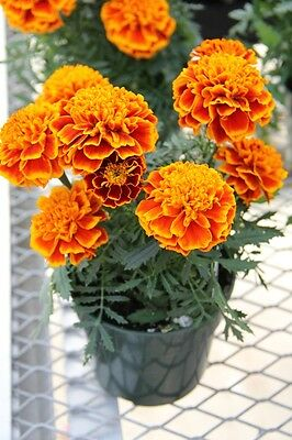 French Marigold - Cresta Flame - 200 Seeds