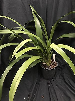 Orchid Cymbidium Tennis (Cricket x suave) IN SPIKE, LARGE PLANT