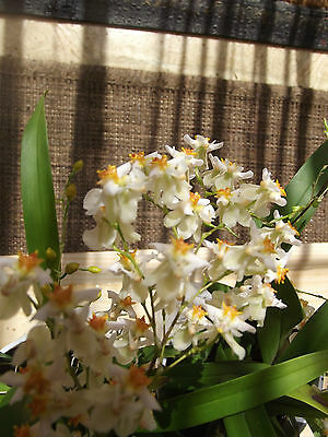 Oncidium twinkle orchid,white, scented FS not in bloom