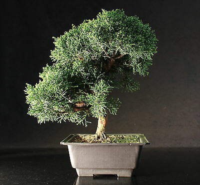 Excellent Quality Chinese Juniper Bonsai Tree - 34 cm