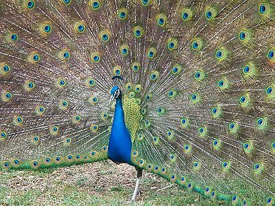 4 India Blue Peacock Peafowl  Hatching Eggs - SHIP WEDNESDAY