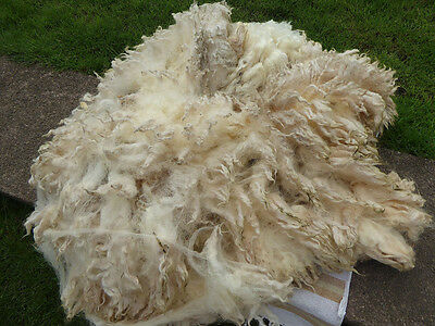 500g Raw fleece- Ryeland- Devon and Cornwall longwool X    ''Blue''