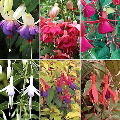 Complete Hardy Fuchsia Collection X 6 Plants In 9cm Pots