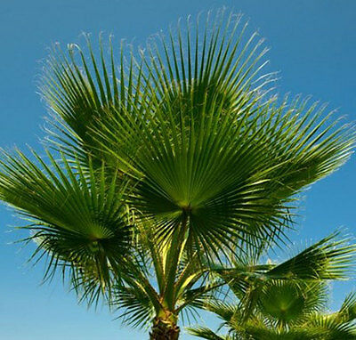 Hardy Cotton Palm Tree Garden Tropical Patio Exotic Plant 1 M Tall Patio Potted