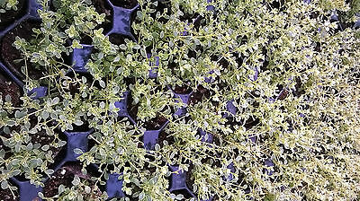 Thyme Collection - 6 Different Thyme Varieties including Lemon & Orange