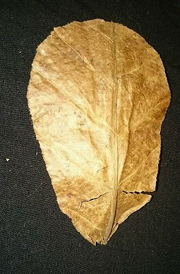 XL Indian Almond Leaves (Terminalia Catappa) 10 Leaves (20-25cm)