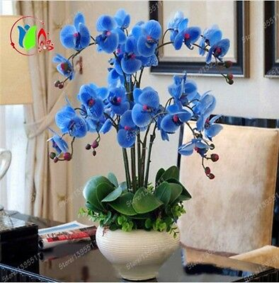 Rare Orchid Bonsai Blue Butterfly Orchid Seeds Beautiful Phalaenopsis 100 PCS