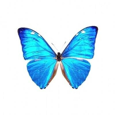 Butterfly Morpho Adonis major ( huallaga) butterfly A1 minus to A2