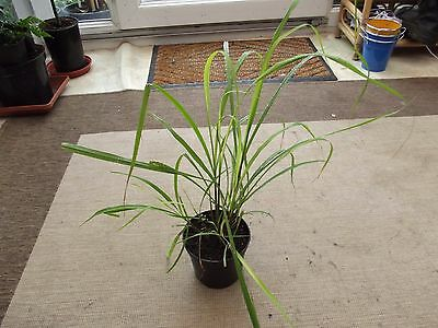 Lemongrass / Cymbopogon citratus  plant in 1 l pot