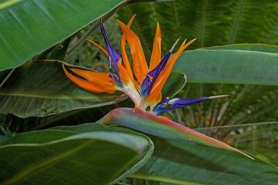 Bird of paradise, Strelitzia reginae plant approx. 30cm tall