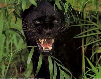 SNARLING BLACK LEOPARD: 20x16 In. Wildlife Poster/Print