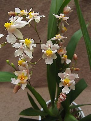 Oncidium twinkle orchid, scented FS in bloom,pink