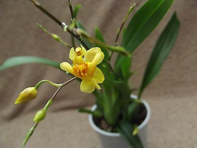 Oncidium twinkle orchid, scented FS in bloom,yellow