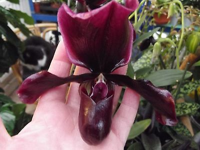 Paphiopedilum `Black Jack` orchid plant in bloom FS, 2 spikes