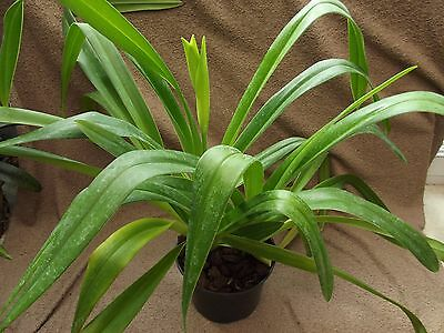 Rare Phragmipedium `Grande` orchid plant FS with spike very big plant