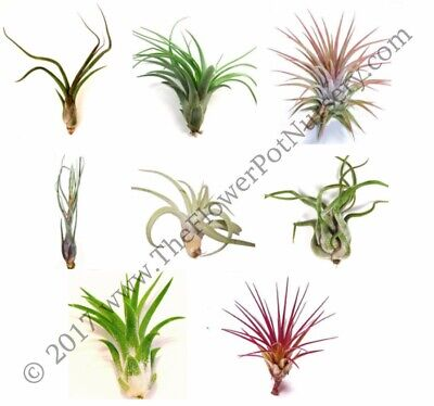 Lot of 10 Air Plants - Tillandsia spp. - Extra Large Premium Assorted FREE SHIP