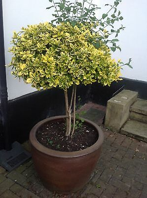 2 X large REAL mature hedge TOPIARY trees in expensive matching plant planters.