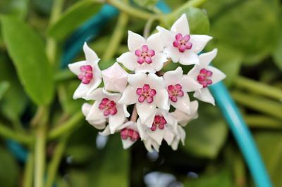Hoya Palniensis Well Rooted Cutting House Plant In 9.0Cm Pot