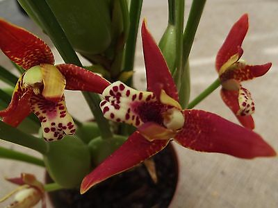 Rare Maxillaria tenuifolia orchid plan, FS,, mature plant, scented not in bloom