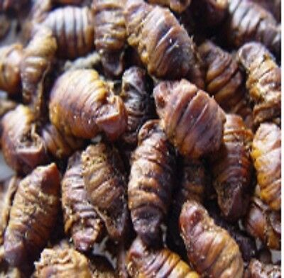 Dried Silkworm Pupae - for sugar gliders, insect eaters, koi fish and more