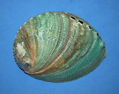 Seashells  Haliotis Fulgens, 148Mm, Shells  Mre401139