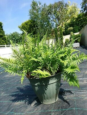 Fern Shrub - V LARGE, THICK established Plant 10+ x than ones in garden centres