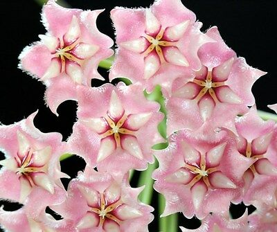 Hoya Pubicalyx Pink Silver Scented Wax Well Rooted Cutting In 9.cm Pot
