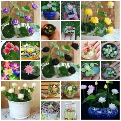 PROMO! Hydroponic Flowers Small Water Lily Seeds, Mini Lotus Seeds - 20 Seeds