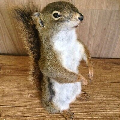Free Standing/ Pine Squirrel Taxidermy Mount/ No Base