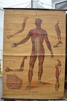 Vintage Canvas Anatomical Chart (1910s/20s): Muscles (W. & A.K. Johnston)