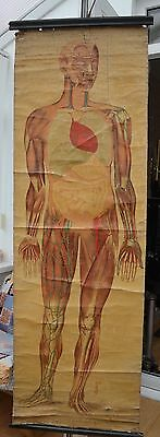 Vintage Canvas Anatomical Chart (1910s/20s): Systems of Body RUDDIMAN JOHNSTON