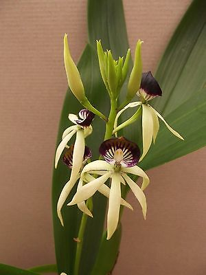 Encyclia cochleata orchid plant in bloom , 2 spikes