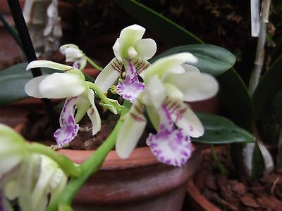 Rare Sedirea japonica orchid plant,FS,not  in bloom 6cm pot