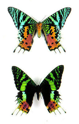 Insect Madagascan Sunset Moths wholesale 20 x $1.85 = $37.00