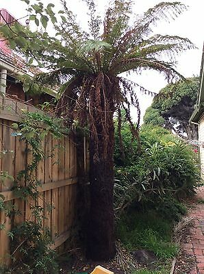 TREE FERN - TALL HEALTHY AND ESTABLISHED No2 , 23m