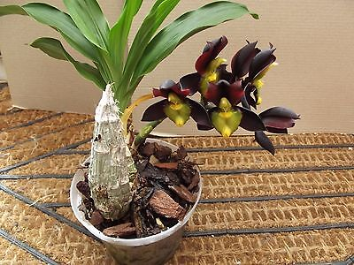 Rare Monnierara Millennium Magic 'Witchcraft' FCC/AOS  orchid plant ( Catasetum)