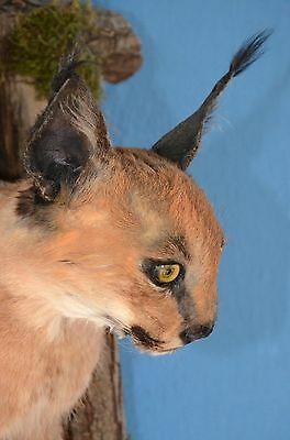 Caracal African Lynx taxidermy half body mount (with CITES) + free shipping