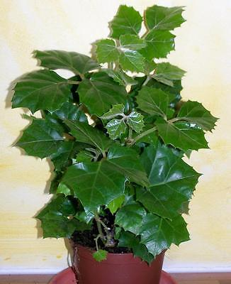 Grape Ivy  (Cissus rhombifolia )25 Seeds