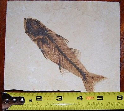 Large/Detailed Fossilized Fish in Shale