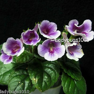 Mini Sinningia 'Country Freedom' TUBER, Gesneriad, African Violet kin