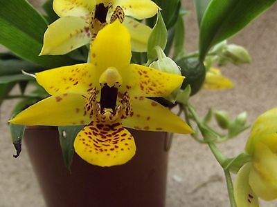 Promenaea `Sunlight` orchid plant in bloom,in 8 cm pot