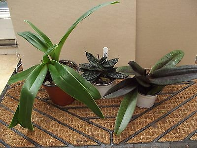 Collection of 3 Paphiopedilum orchid plants FS not in bloom