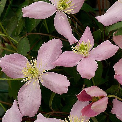 Clematis montana 'Fragrant Spring' X 1
