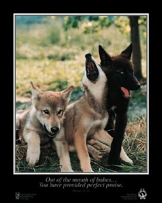 "Gray Wolf Pups Photography Poster 16 X 20""  By Monty Sloan & Paws Of Praise."