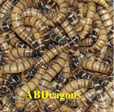 50 to 2,000  Live Superworms ALL SIZES Free Shipping USPS or FedEx Express Saver